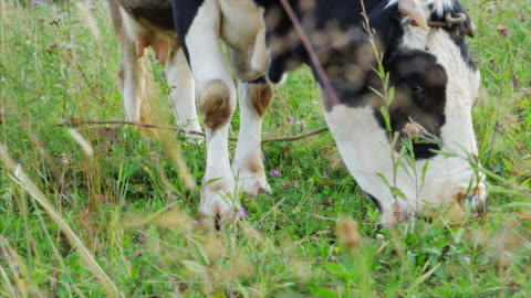 spotted milk cow pasturing on grassland - cow stock videos & royalty-free footage