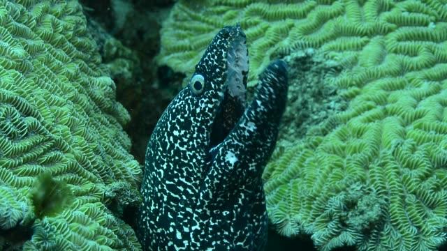 spotted moray. - 水中カメラ点の映像素材/bロール