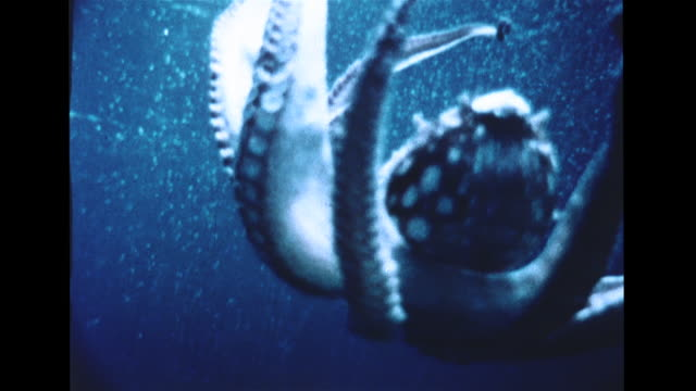 spotted octopus w/ tentacles raised floating down in water octopus in dive down toward rocks sunlight on sand floor cu behind large moray eel moving... - moray eel stock videos & royalty-free footage