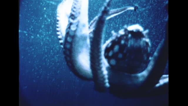 vidéos et rushes de spotted octopus w/ tentacles raised floating down in water octopus in dive down toward rocks sunlight on sand floor cu behind large moray eel moving... - murène
