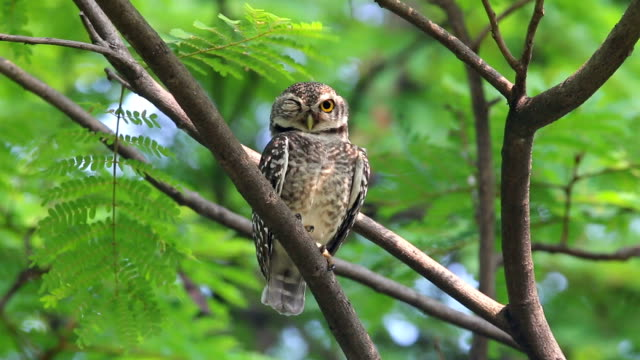 spotted owlet athene brama beautiful birds of thailand perching on the tree - perching stock videos & royalty-free footage