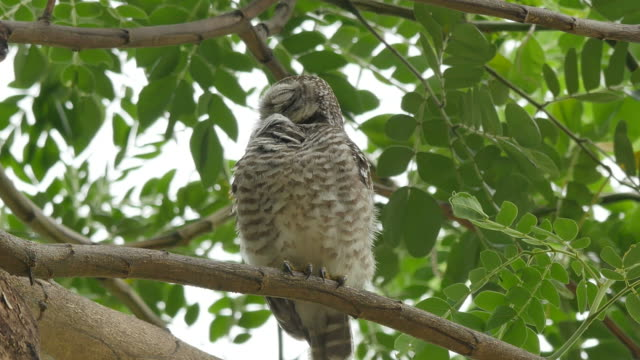 spotted owlet clean itself on tree. - groom stock videos and b-roll footage