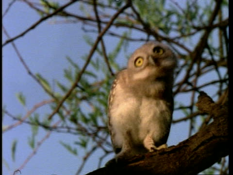 stockvideo's en b-roll-footage met spotted owlet, dancing on tree branch, bharatpur bird reserve, india, asia - humor