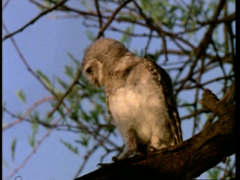 spotted owlet, dancing on tree branch, bharatpur bird reserve, india, asia - animal behaviour stock videos & royalty-free footage