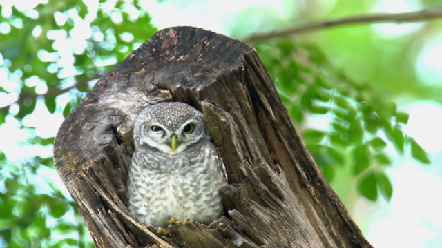 spotted owlet in hollow tree trunk. - trunk tree stock videos and b-roll footage
