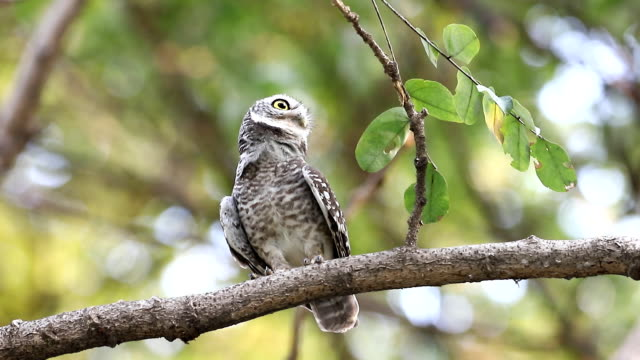 Spotted owlet(Athene brama) looking at in nature