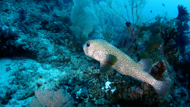 spotted pufferfish attractive by light underwater - balloonfish stock videos and b-roll footage