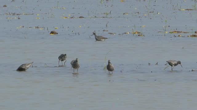 湿地で餌を与える赤シャンクを見つけた。 - クサシギ属点の映像素材/bロール
