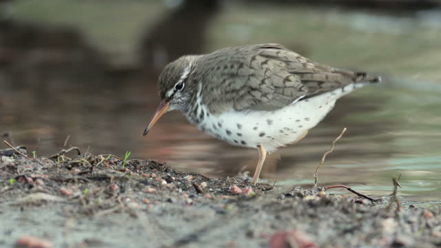 spotted sandpiper hunts insects in bear creek lakewood colorado - sandpiper stock videos & royalty-free footage
