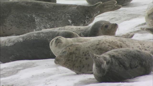 Spotted Seal  drift-ice  Sea of Okhotsk_ Hokkaido