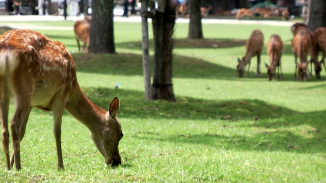 spotted sika deer scratching its face - nara prefecture stock videos and b-roll footage
