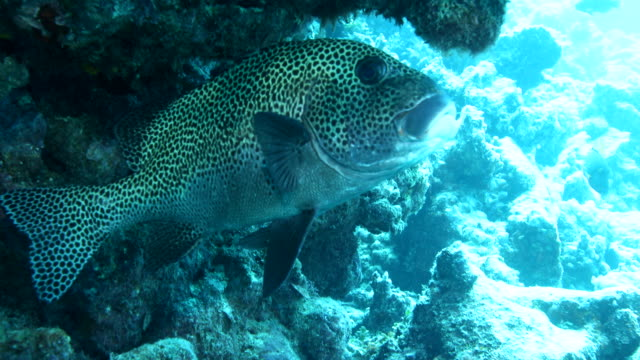 spotted sweetlips swimming in shelter of coral reef - sweetlips stock videos & royalty-free footage