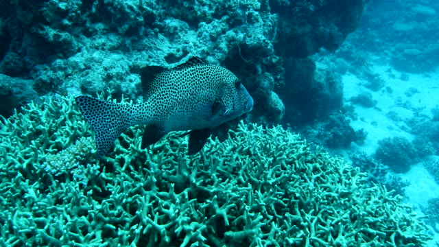 spotted sweetlips swimming over reef - sweetlips stock videos & royalty-free footage