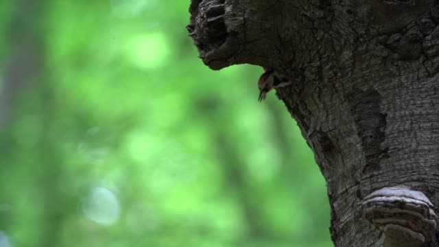 Pica-pau malhado (Dendrocopos) emerge de um buraco na árvore
