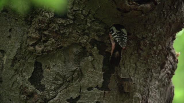 Pica-pau malhado (Dendrocopos) entra no buraco na árvore