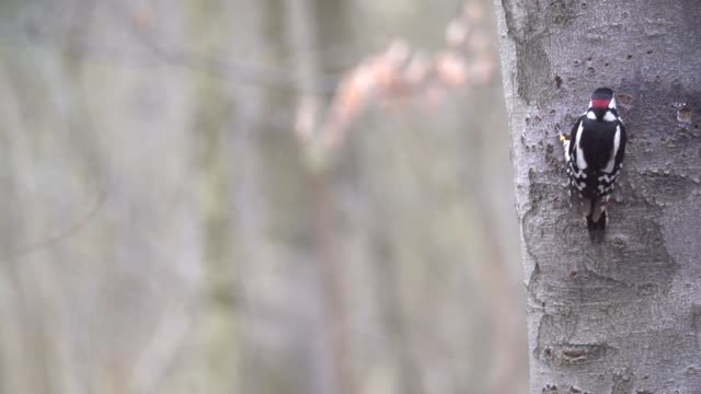 spotted woodpecker (dendrocopos) hops on tree trunk - woodpecker stock videos & royalty-free footage