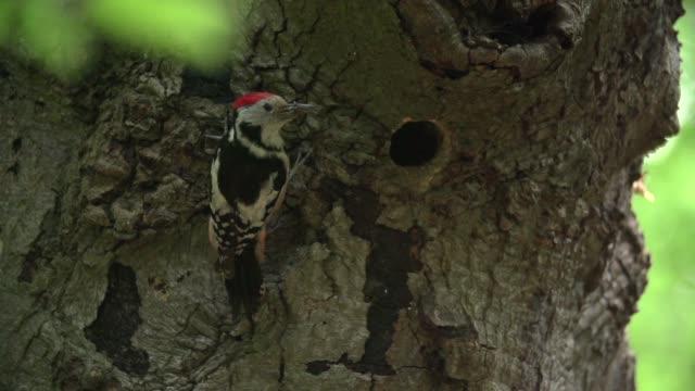 Poleiros de pica-pau malhado (Dendrocopos) no tronco de árvore