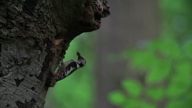 Spotted woodpecker (Dendrocopos) perches on tree trunk