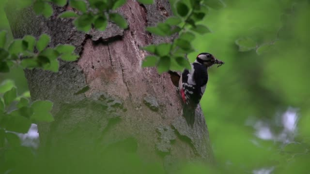 Spotted woodpecker (Dendrocopos) takes perch on tree