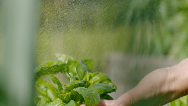 slo mo spraying fresh basil leaves - basil stock videos & royalty-free footage
