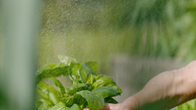 SLO MO Spraying fresh basil leaves