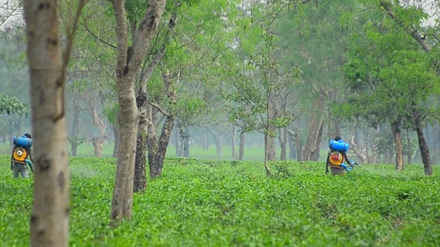 spraying of pesticide  over tea leaves in assam tea garden. - insecticide stock videos & royalty-free footage