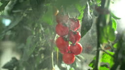 SLO MO Spraying tomatoes in a greenhouse
