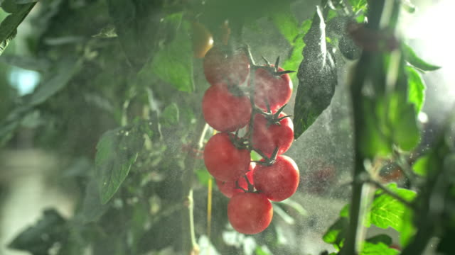 slo mo spraying tomatoes in a greenhouse - vegetable stock videos & royalty-free footage