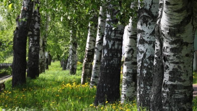 Spring Birch Grove in a Sunny Day