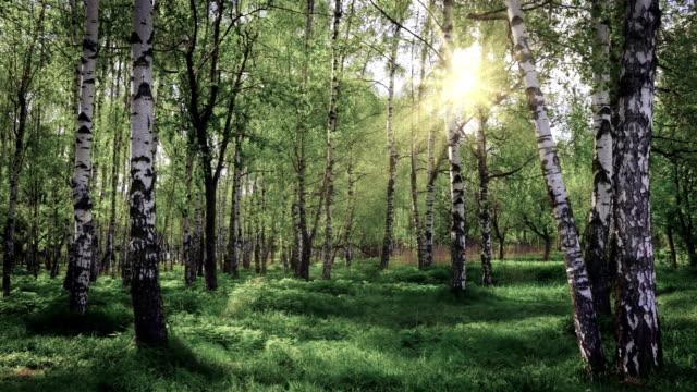 stockvideo's en b-roll-footage met lente berk grove - berk