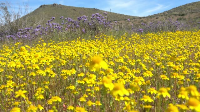 spring bloom in death valley national park, california - flower head stock videos & royalty-free footage