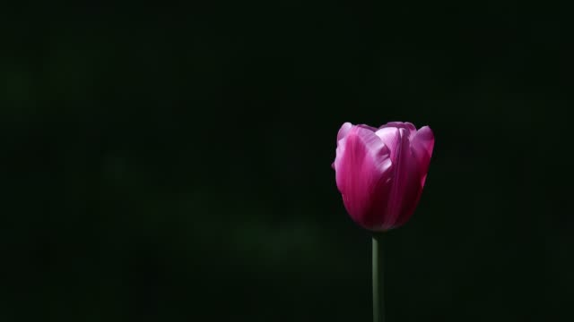 spring blooming tulip sway with the wind - single flower stock videos & royalty-free footage