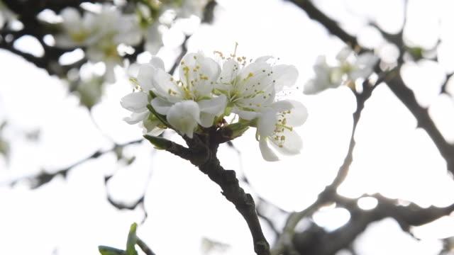 spring blossom on a plum tree - plum stock videos & royalty-free footage