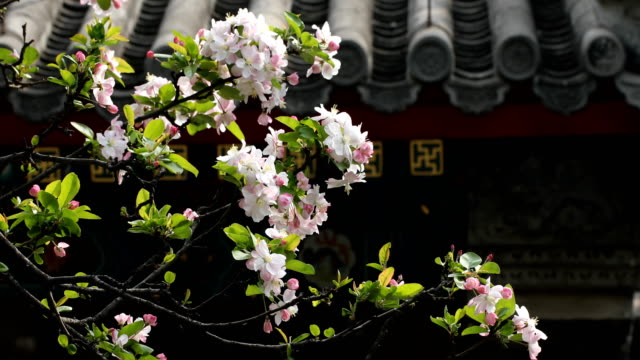 spring blossoming flowers sway with the wind in front of chinese traditional ancient architectural background - elemento del design video stock e b–roll