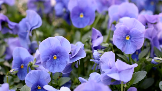 spring blossoming flowers sway with the wind - purple stock videos & royalty-free footage