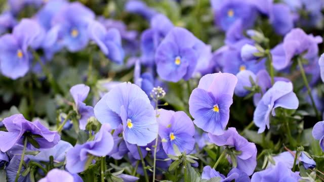 vidéos et rushes de printemps fleurs fleurs se balancent au vent - violet