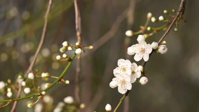 spring blossoms on a tree at kew gardens on march 2, 2021 in london, england. - キュー点の映像素材/bロール