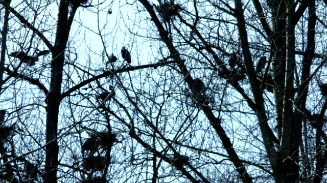 Spring Blue Heron Nests and Competition 1 Sauvie Island Oregon