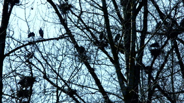 Spring Blue Heron Nests and Competition 2 Sauvie Island Oregon