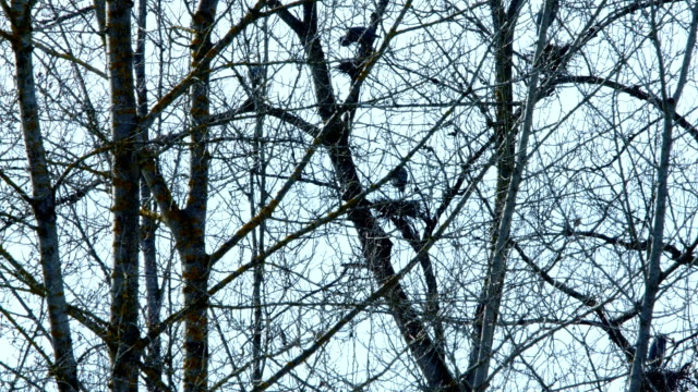 Spring Blue Heron Nests and Competition 4 Sauvie Island Oregon