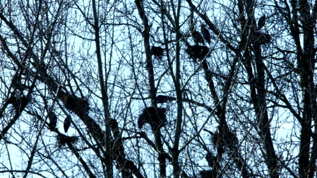 Spring Blue Heron Nests and Competition 5 Sauvie Island Oregon