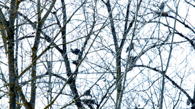 Spring Blue Heron Nests and Competition 6 Sauvie Island Oregon