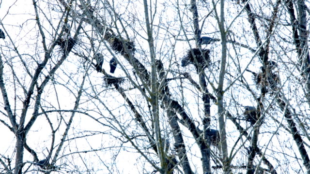 Spring Blue Heron Nests and Competition 7 Sauvie Island Oregon