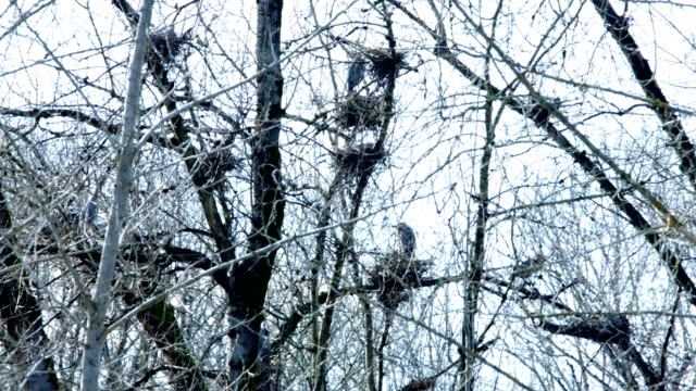 Spring Blue Heron Nests and Competition 9 Sauvie Island Oregon