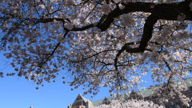 spring cherry blossom - university of washington stock videos & royalty-free footage