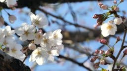 Spring Cherry Blossoms in Japan