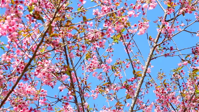 spring cherry blossoms - great white cherry stock videos & royalty-free footage