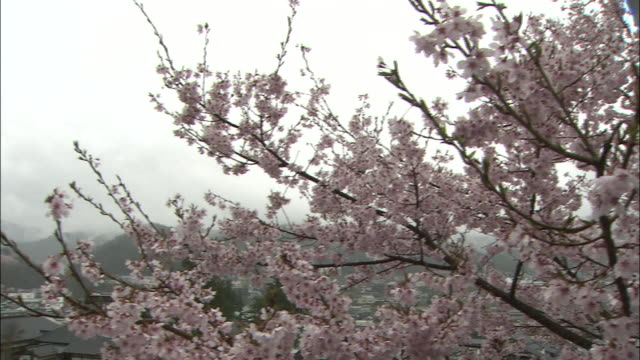 a spring cherry tree blossoms at takato joshi park in ina, nagano on a foggy day. - nagano prefecture stock videos and b-roll footage
