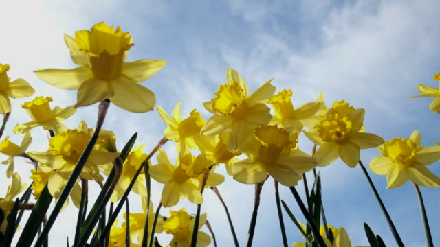 spring daffodils against a sunny sky - daffodil stock videos & royalty-free footage