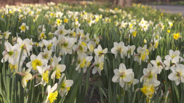 spring daffodils - vector stock videos & royalty-free footage